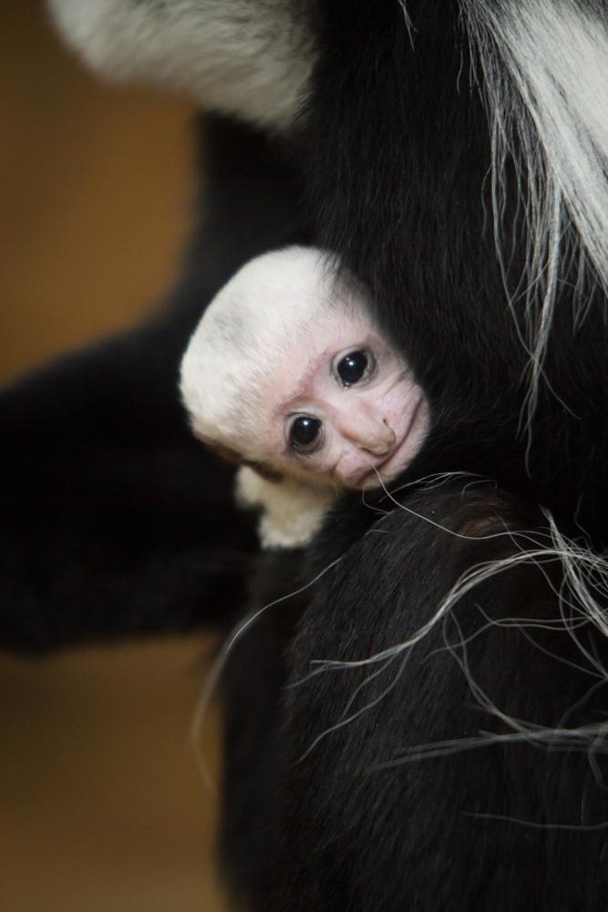 Colobus-monkey112715_Jan-2015_Ethan-Riepl-Saint-Louis-Zoo_web