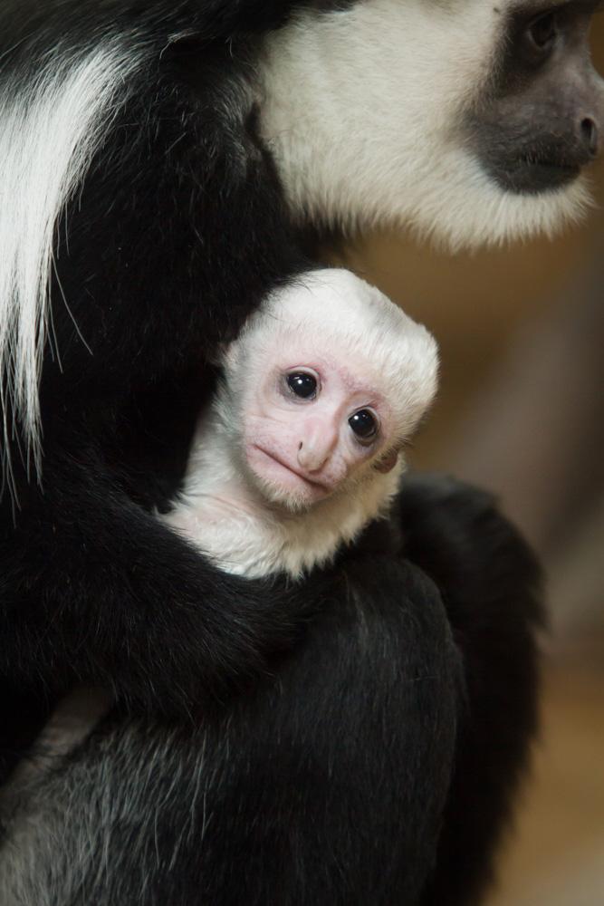 Colobus-monkey115558_Jan-2015_Ethan-Riepl-Saint-Louis-Zoo_web