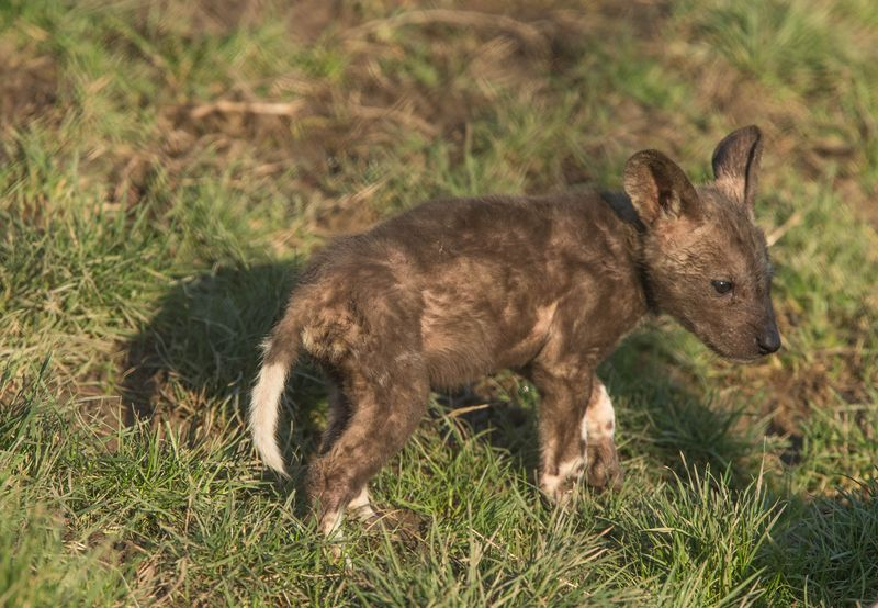 African painted puppy at Port Lympne Reserve c Dave Rolfe