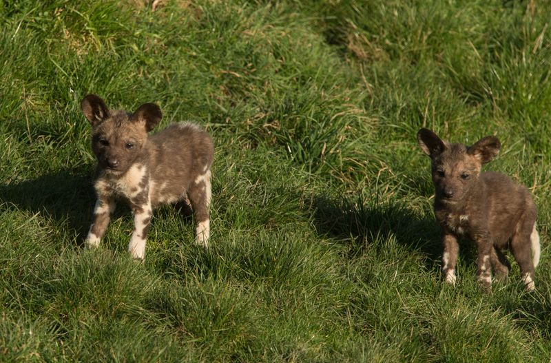 Painted pups at Port Lympne c Dave Rolfe 5