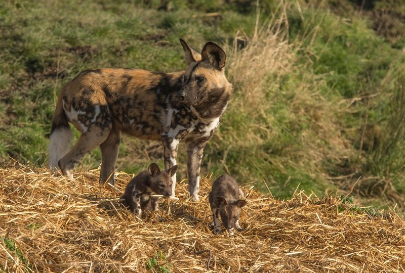 Port Lympne Reserve has 3 litters of African Painted Pups c Dave Rolfe