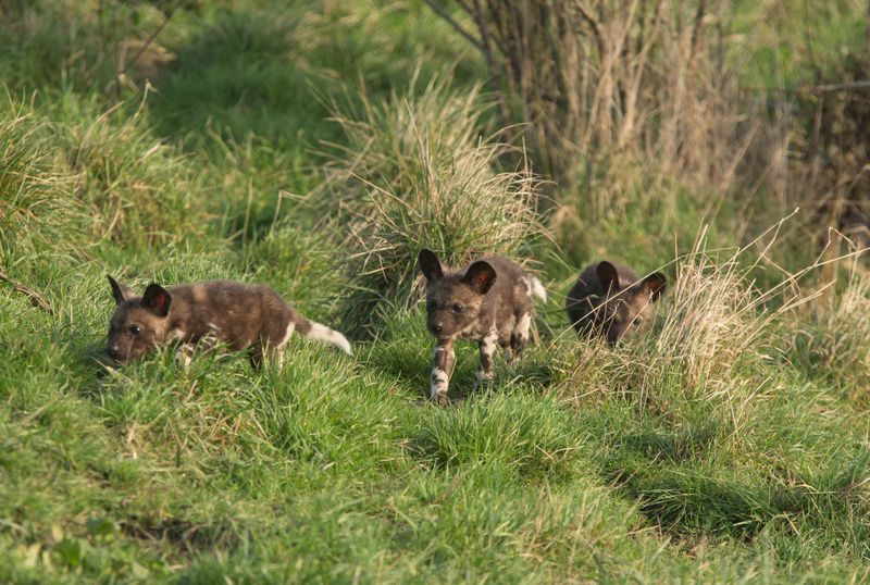 Painted pups at Port Lympne Reserve c Dave Rolfe 3
