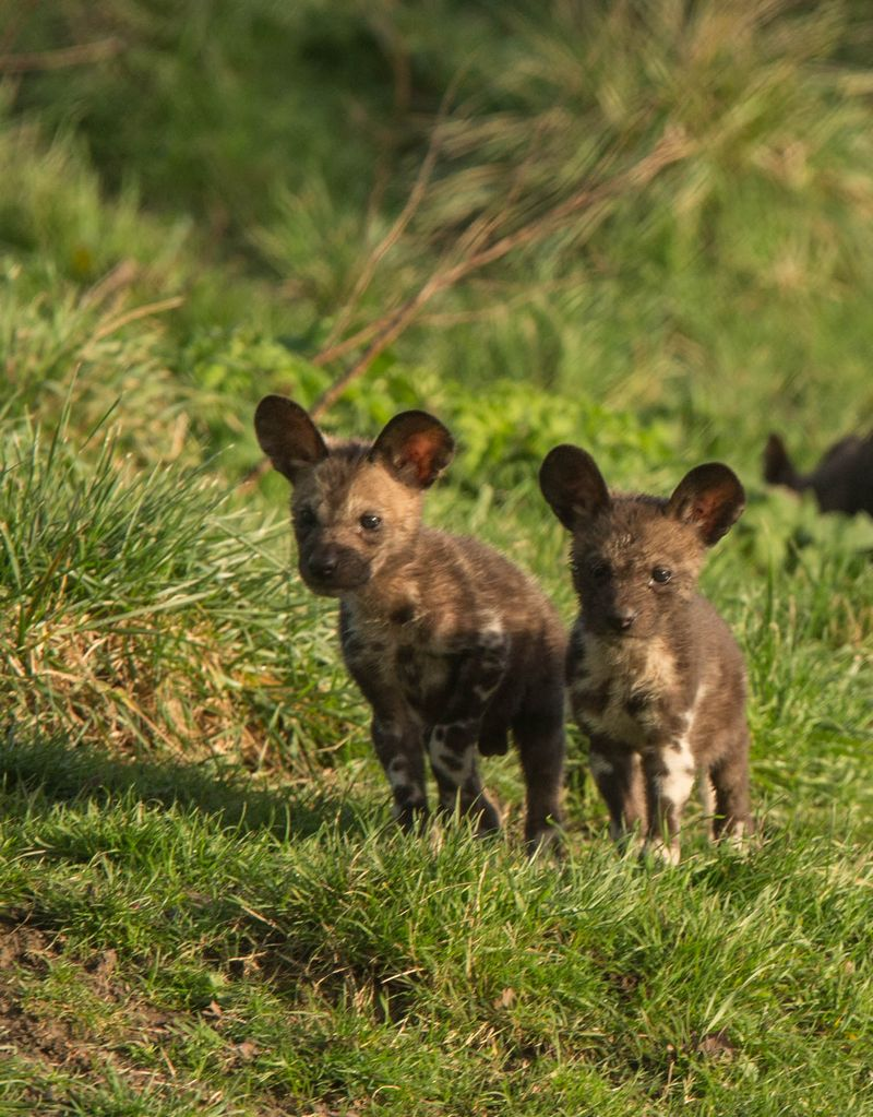 2 painted pups at Port Lympne Reserve c Dave Rolfe