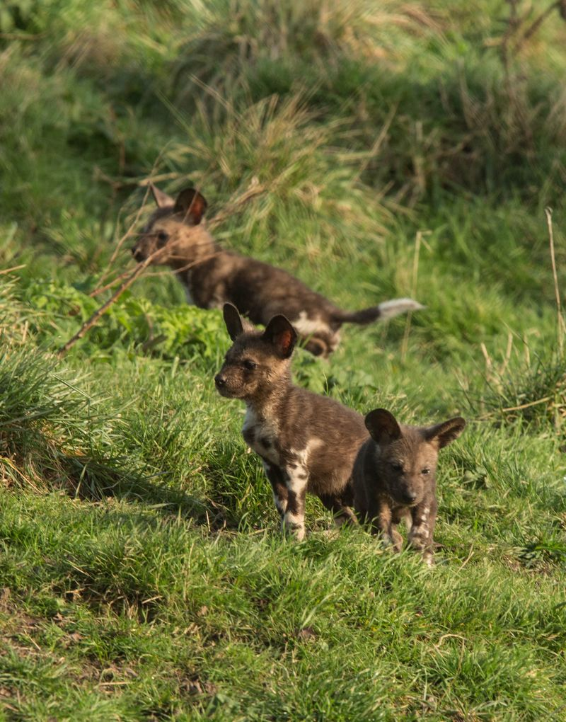 African painted pups at Port lympne Reserve c Dave Rolfe (2)