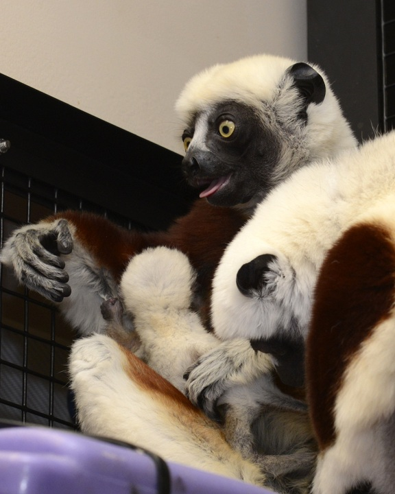 __dlc-ayeaye.win.duke.edu_lemur-center_home_dharing_Animal Photos 4-05_animal photographs_coquerel's sifakas_2015 infants__ pc6843 6985 7199_DSC
