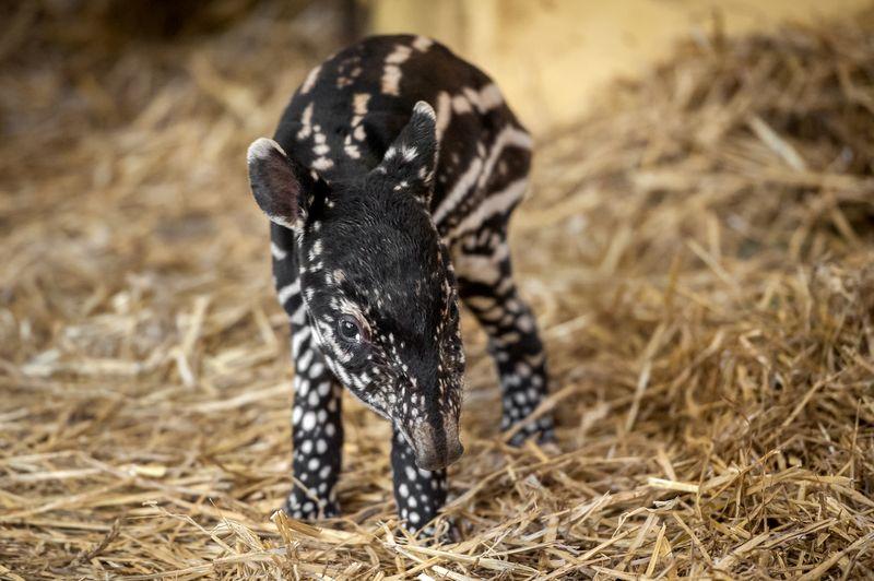 Fotolink_tapirbabyQ (4)