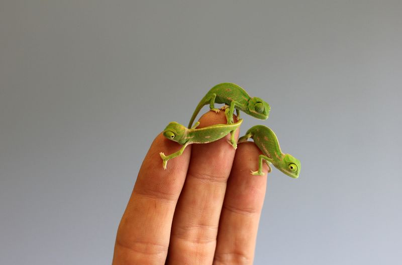 Chameleon Hatchlings 1_Photo by Paul Fahy