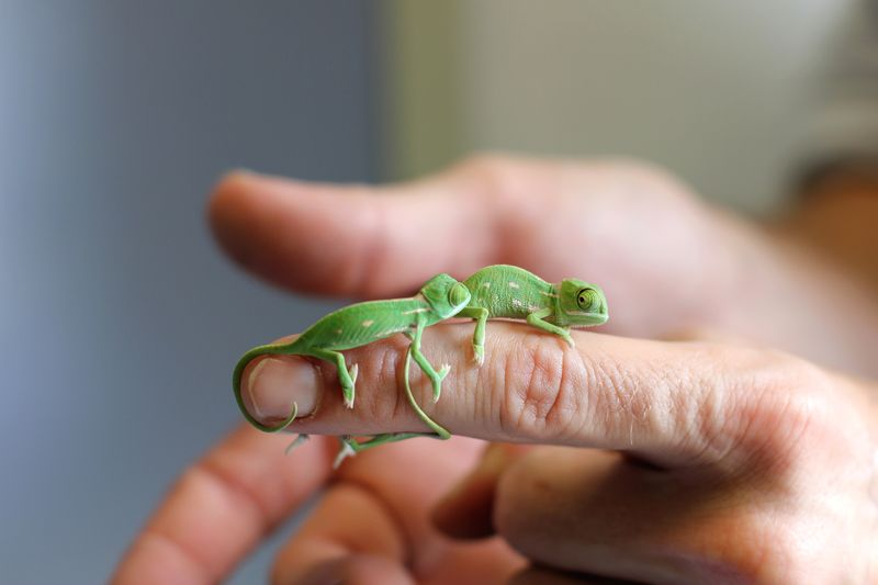 Chameleon Hatchlings 4_Photo by Paul Fahy