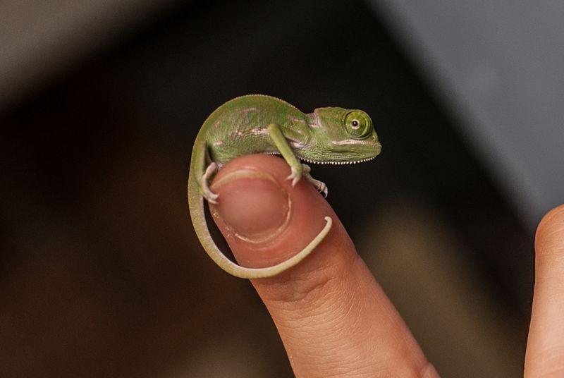 Chameleon_Photo by Lorinda Taylor (9)