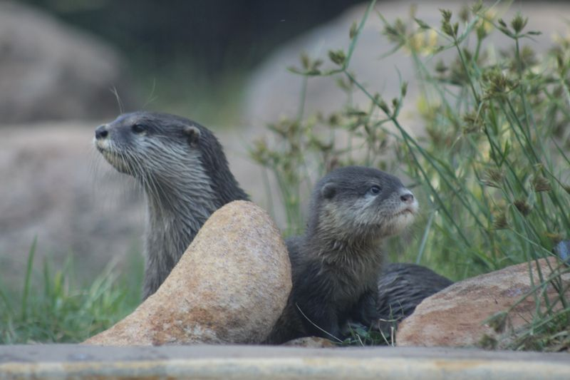 Otter pups_6.3.15_MT (7)