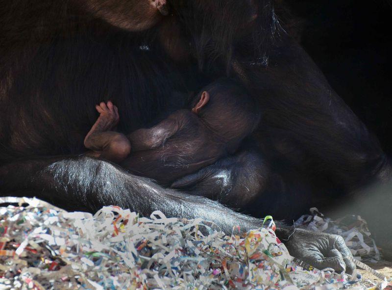 Baby Chimps_15