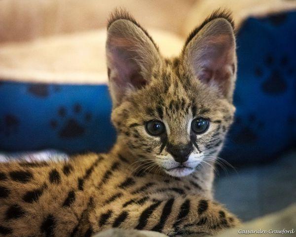 Serval Kitten Jumps Right In At Cincinnati Zoo Zooborns