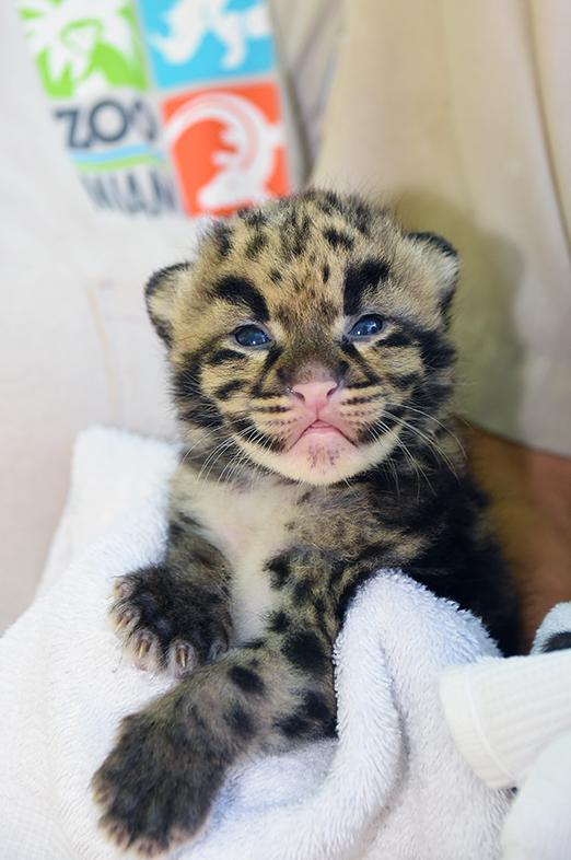 Two Clouded Leopard Kittens See the Miami Sun for the ... Leopard Cubs With Mother