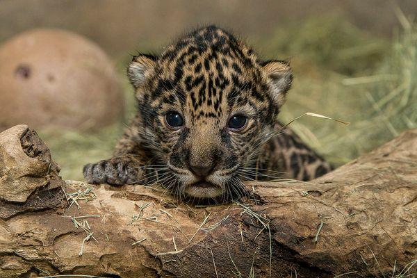 Jaguar Cub Debuts at San Diego Zoo