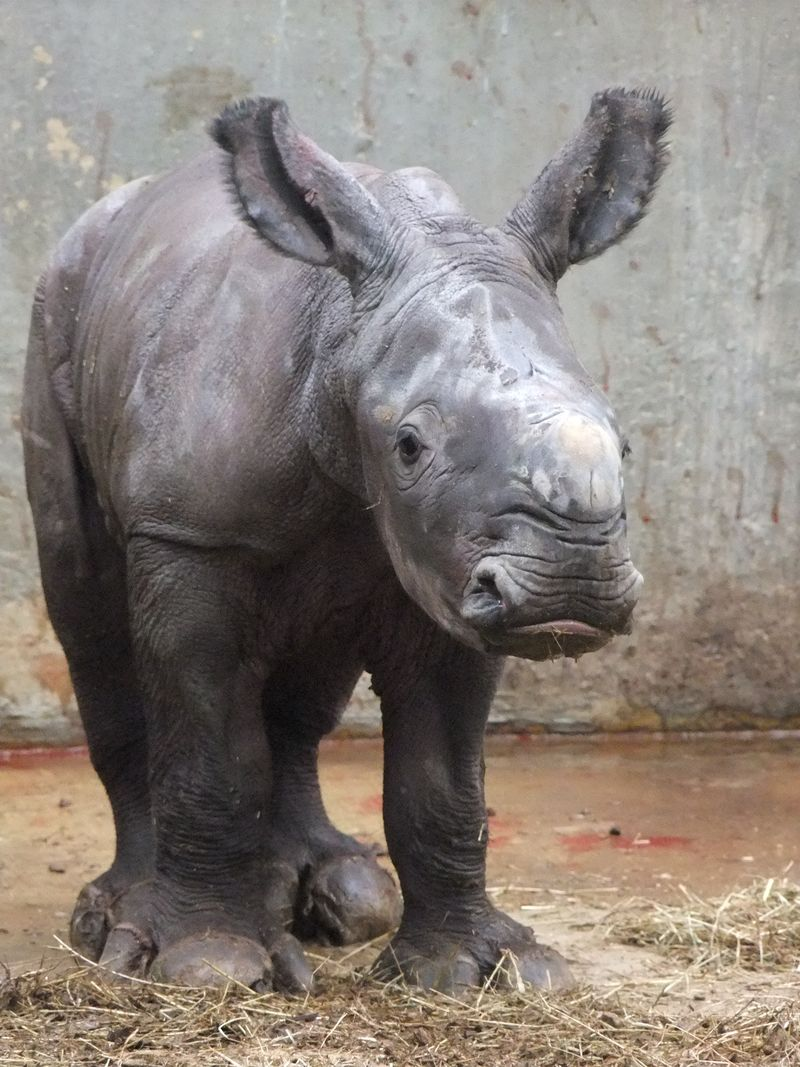 Baby Rhino with both ears up