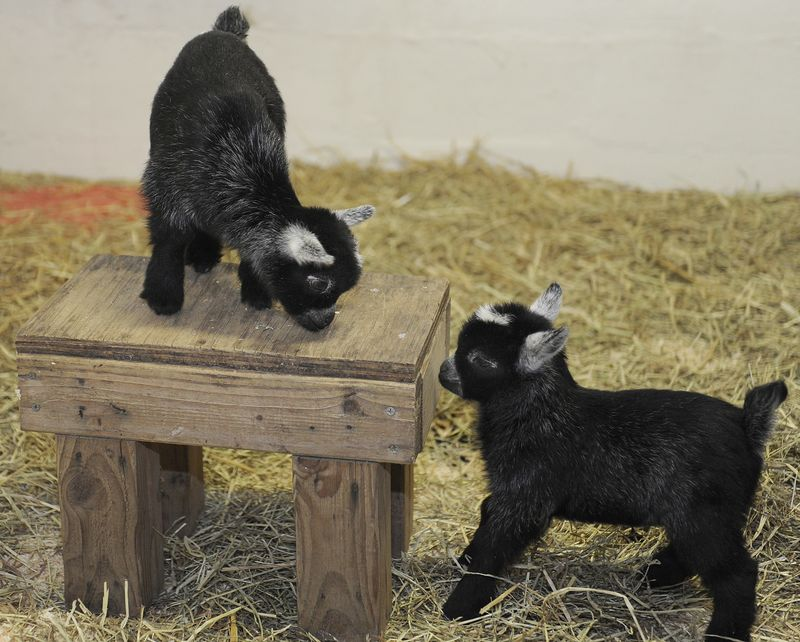 MarylandPygmyGoats_2