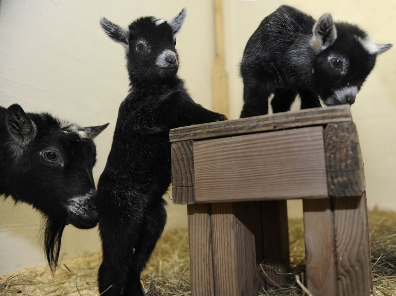 MarylandPygmyGoats_4