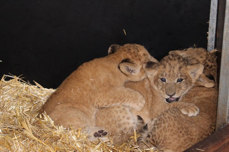 Lion cubs vaccination_SM_7.4.15 (20)
