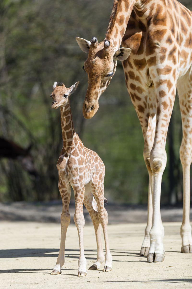 Kordofan_giraffe_majengo_vater_xamburu_ZO25184