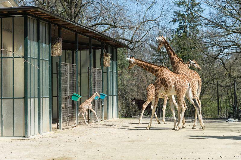 Kordofan_giraffe_majengo_draussen_ZOB0706