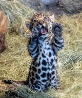 Jaguar Cub Is a Handful…and Mouthful