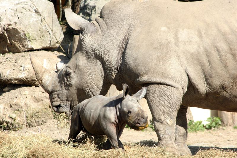 ZooSalzburg_Rhino_2