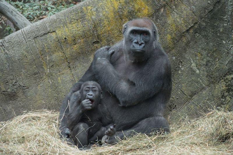 Julie Larsen Maher_7859_Western Lowland Gorillas and Babies_CON_BZ_04 14 15
