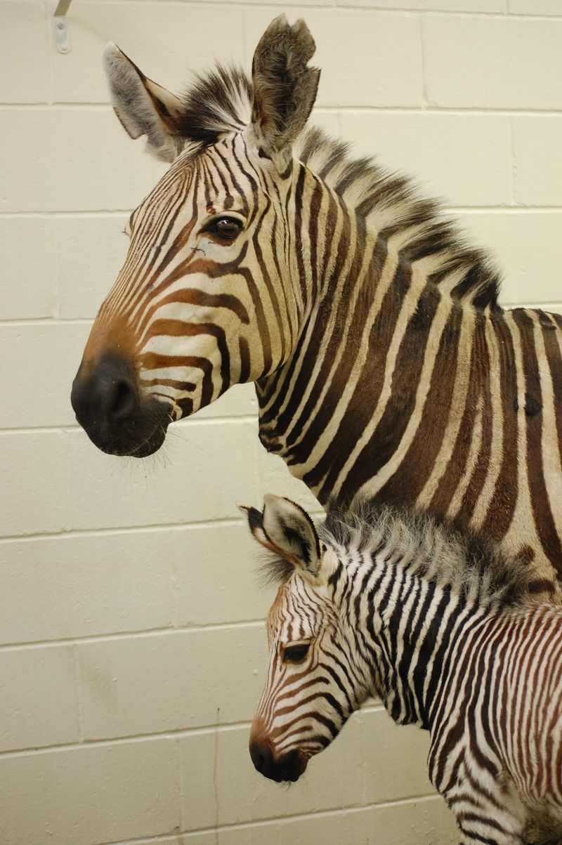 ZebraFoal_virginia Zoo