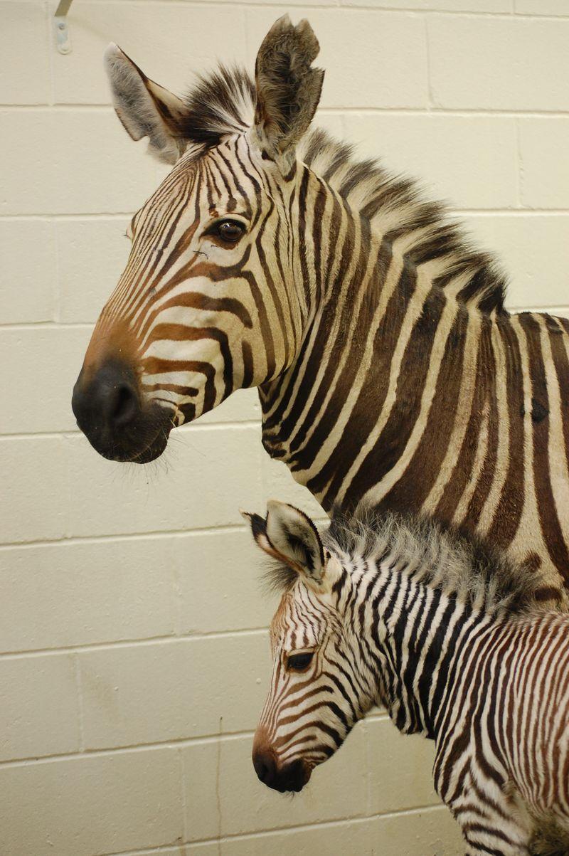 ZebraFoal_virginia Zoo
