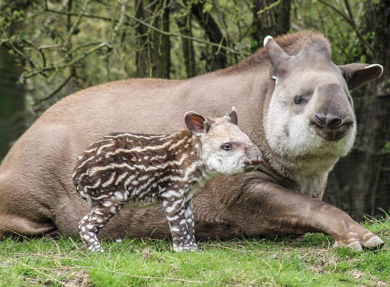 Brazilian Tapir calf photographed at 36 hours old born at Linton Zoo on 11.04.15 with mum Tiana (5)