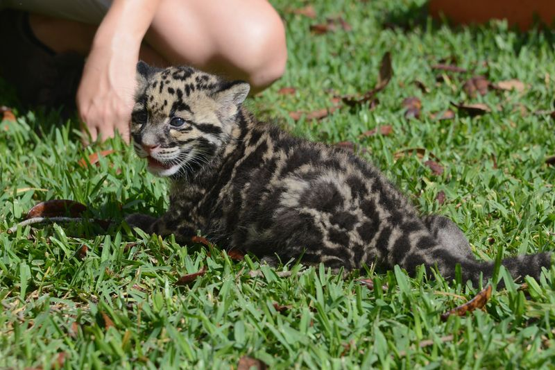 Asia clouded leopard cub 6 apr 17 2015