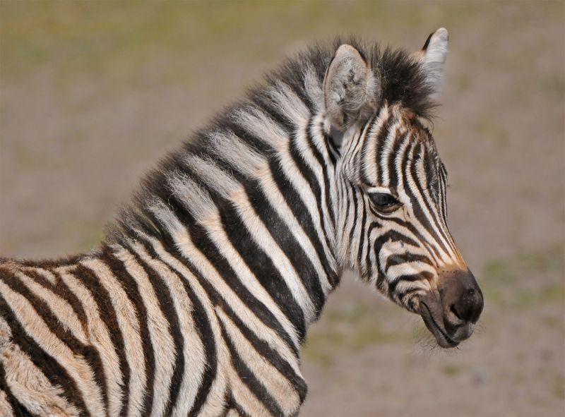 TD Zebra foal_7