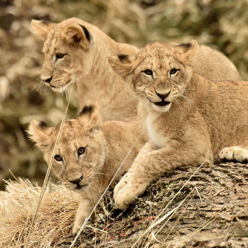 2015-04-02 Lion Cubs 1 626