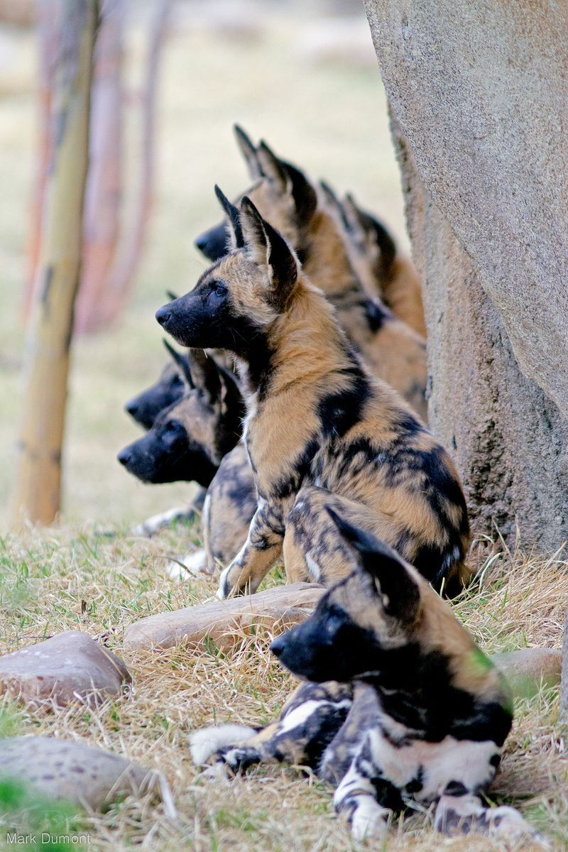Painted dog pups1
