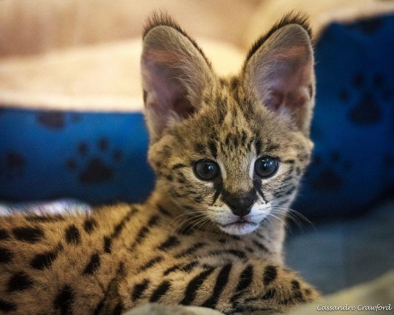 Zeke serval