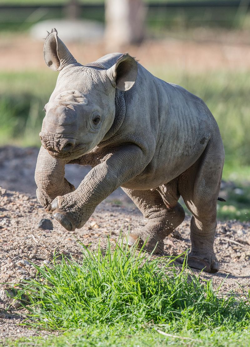 1_Black Rhino calf by Rick Stevens May 2015 (7)