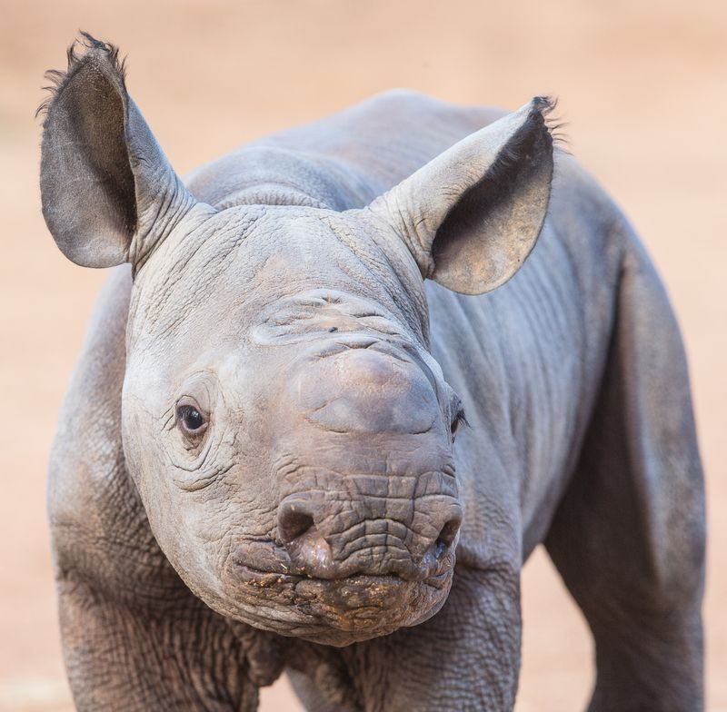 3_Black Rhino calf by Rick Stevens May 2015 (4)
