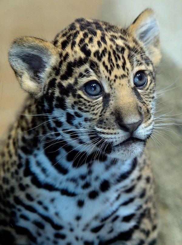 San Diego Zoo's Jaguar Cub Needs a Name