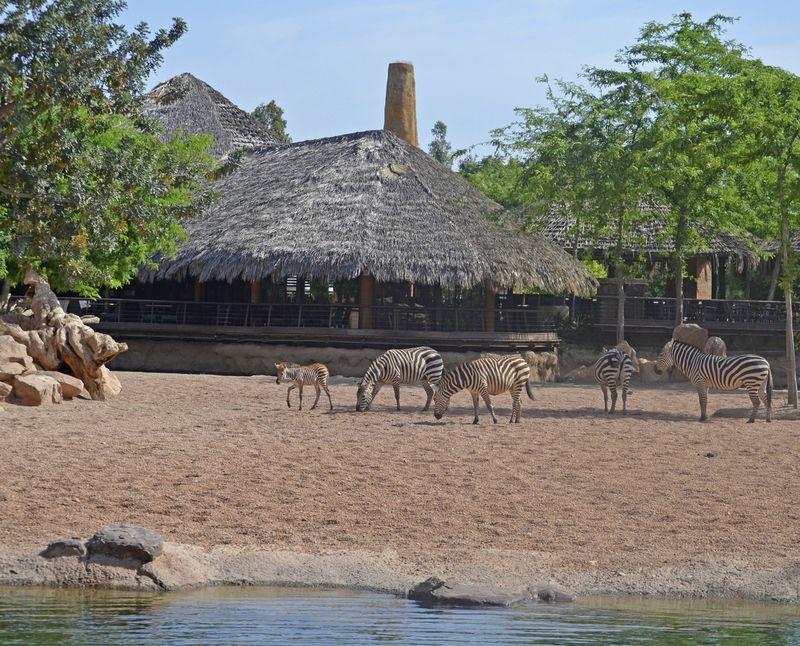 5_Nueva cría de cebra en la Sabana - 1 día de vida - BIOPARC VALENCIA