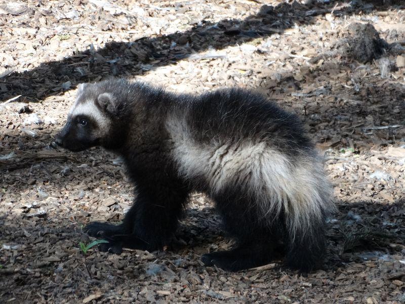 8_Wolverine cub profile