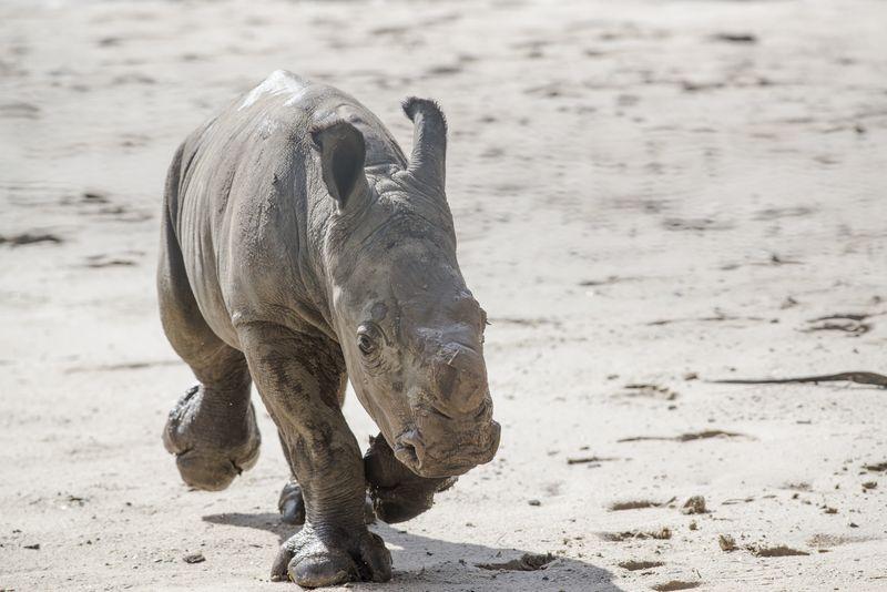 Africa white rhino calf 1 may 27 2015