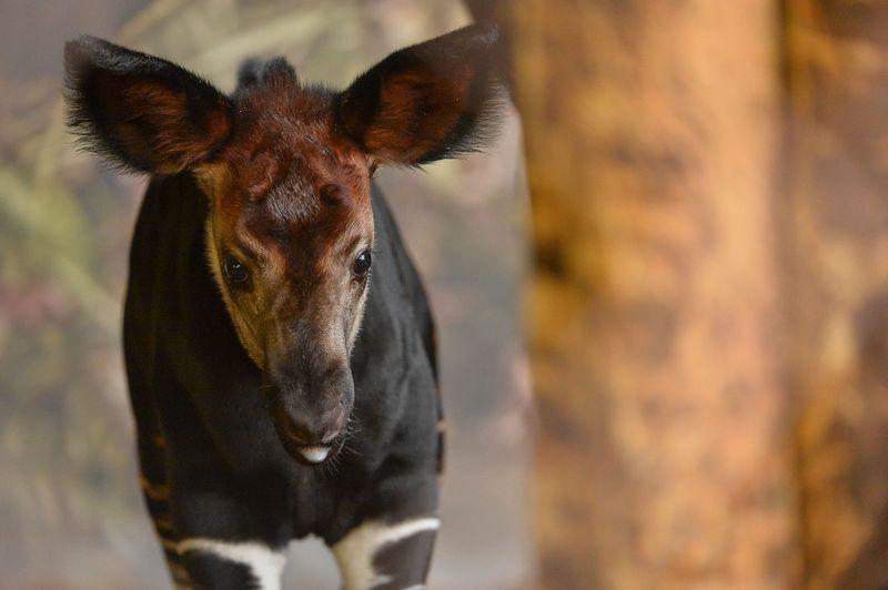 5_New okapi calf Usala (4)