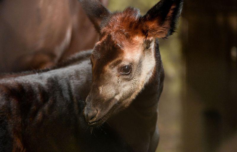 8_New okapi calf Usala (2)