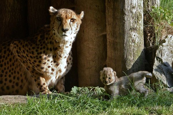 Rare Litter of Cheetahs Born at Allwetterzoo Münster