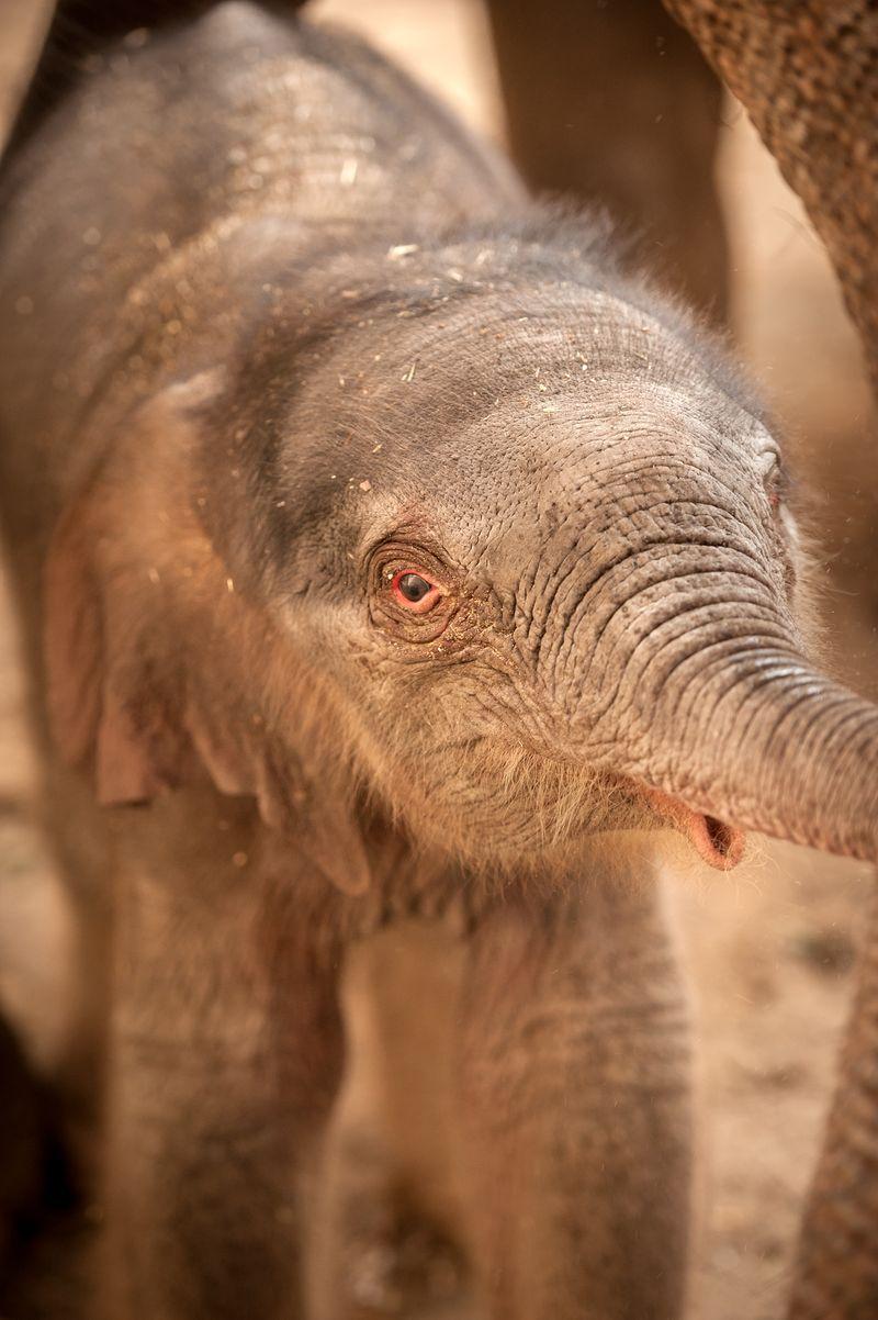 Baby-olifant-qiyo-planckendael-jonas-verhulst7
