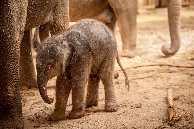 Baby-olifant-qiyo-planckendael-jonas-verhulst4