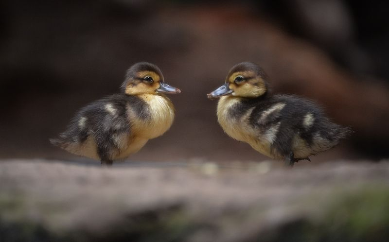 White Winged Ducklings-1 (2)