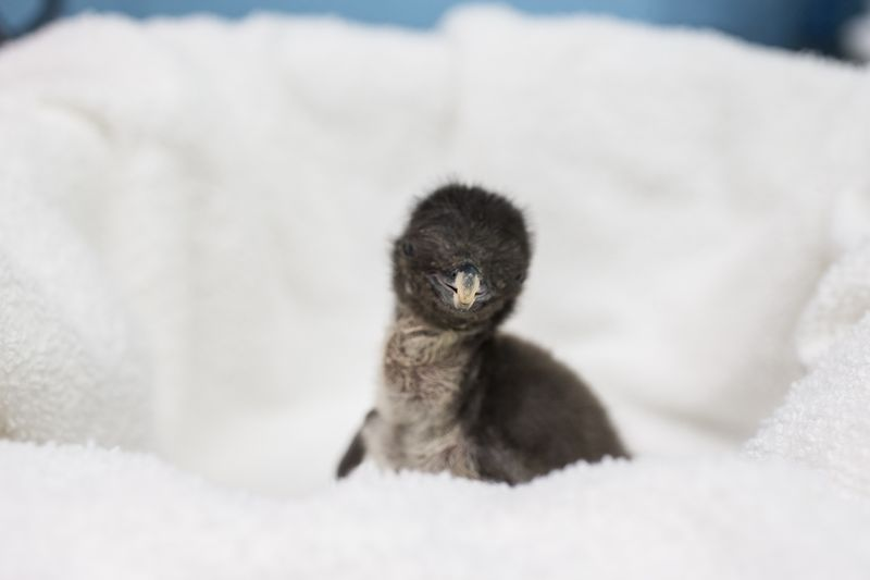 2_Rockhopper Penguin Chick 1