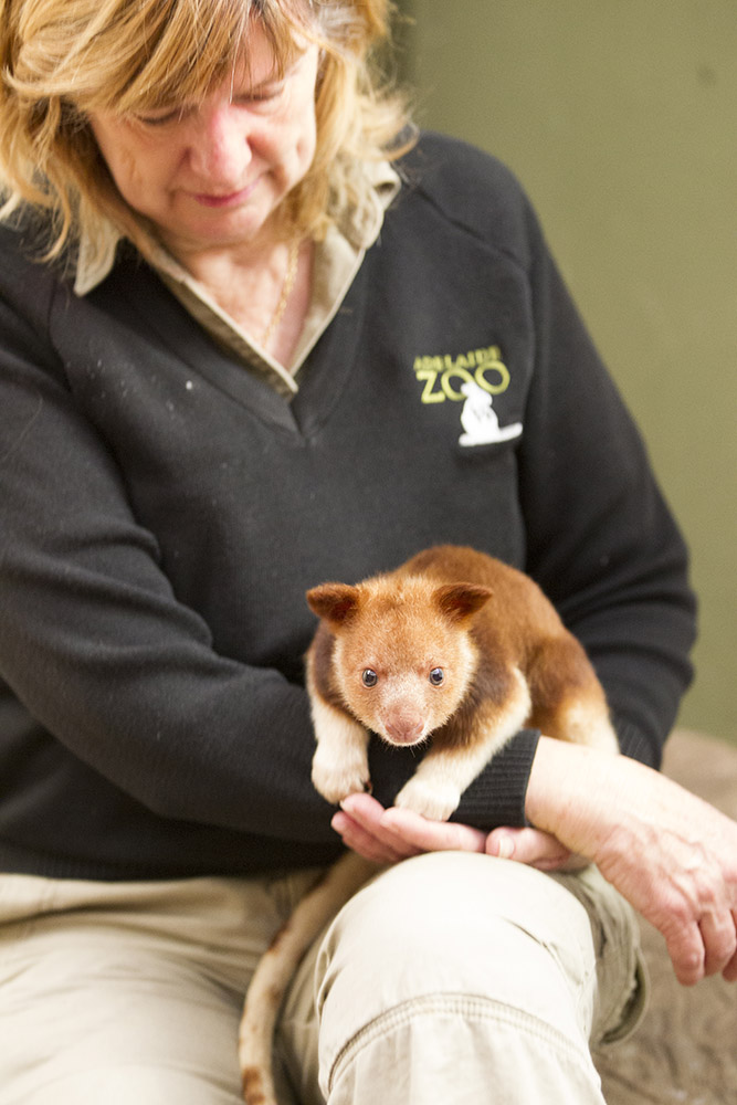 8_Adelaide Zoo Tree Kangaroo April 2015-2
