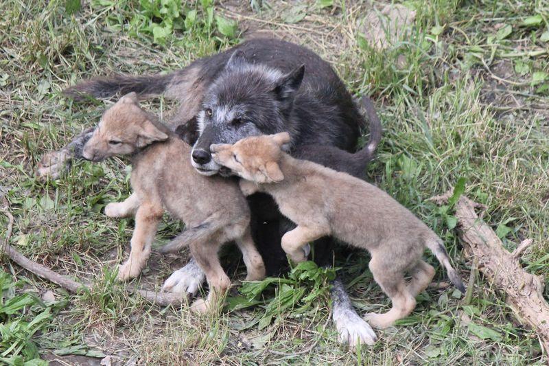 Wolf Pups (3)